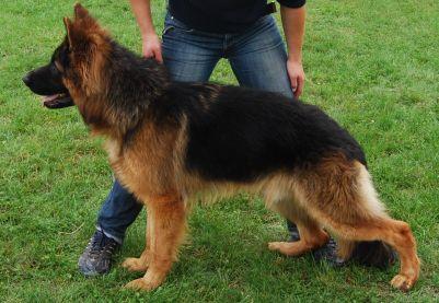 Long-Coated German Shepherds